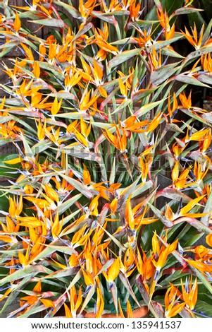 Bird of paradise flowers (Strelitzia)  beautiful bouquet - stock photo