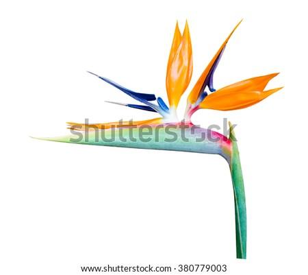 Bird of Paradise Flowers, tropical flower Isolated on White Background - stock photo