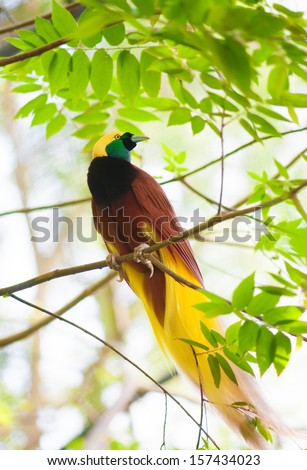 Bird of paradise in the jungle. One Of the most exotic birds in Papua New Guinea. - stock photo