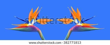 Bird of paradise Latin name Strelitzia reginae flowers - stock photo