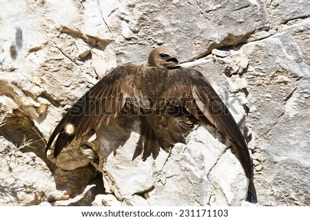 bird of prey, brood - stock photo