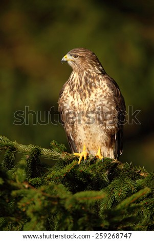 Bird of prey Common Buzzard, Buteo buteo, sitting on coniferous spruce tree branch - stock photo