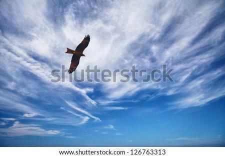 Bird of prey fly in blue sky - Black Kite (Milvus migrans) - stock photo