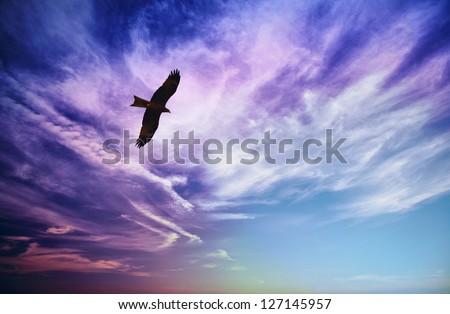 Bird of prey fly in sky - Black Kite (Milvus migrans) - stock photo