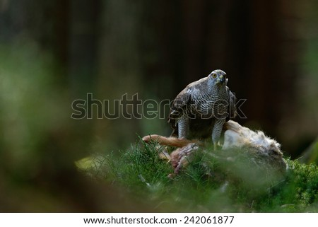 Bird of Prey Goshawk, Accipiter gentilis, feeding kill hare in the forest  - stock photo