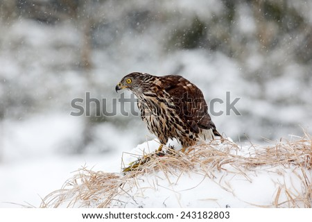 Bird of prey Goshawk kill bird and sitting on the snow meadow with open wings, blurred snowy forest in background - stock photo
