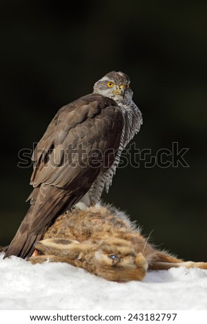 Bird of prey Goshawk kill hare and sitting on the snow meadow with open wings, blurred dark forest in background - stock photo