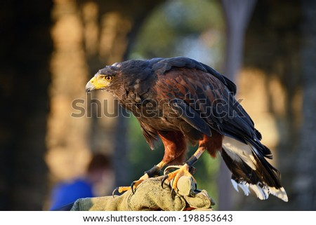 Bird of Prey Harris's Hawk held on glove - stock photo