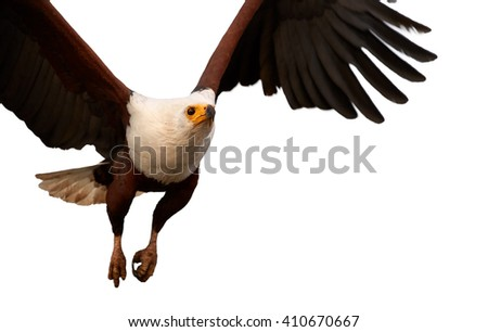 Bird of prey in in close range, African fish eagle, Haliaeetus vocifer flying directly at camera with outstretched wings, isolated on white background. KwaZulu Natal, South Africa. - stock photo