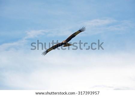 Bird of prey in the sky - stock photo