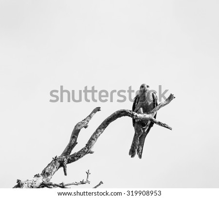Bird of Prey on Dead Tree Branch - stock photo