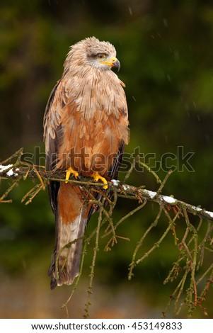 Bird of prey on the tree branch. Black Kite, Milvus migrans, brown bird of prey sitting larch tree branch, animal in the nature habitat. Bird of prey in the forest. - stock photo