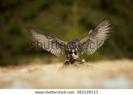 Bird of prey Peregrine falcon, Falco peregrinus feeding on pheasant prey with fully outstretched wings in winter meadow against dark green,blurred background. Europe, Czech republic. Front view. - stock photo
