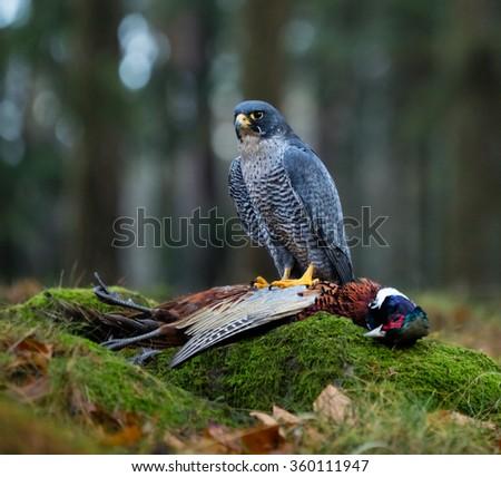 Bird of prey Peregrine Falcon (Falco peregrinus) with kill Common Pheasant on stone - stock photo