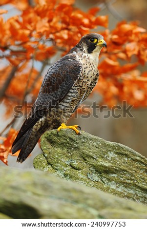Bird of prey Peregrine Falcon sitting on the rock with orange autumn forest in background  - stock photo