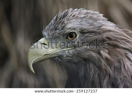 Bird of prey. Portrait of an eagle. - stock photo