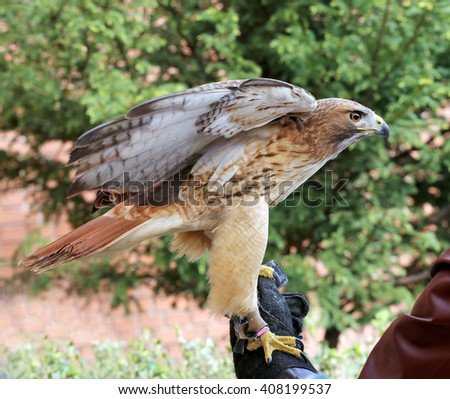 Bird of prey red-tailed hawk known in the United States as chickenhawk. Red-tailed chickenhawk on gloved hand - stock photo