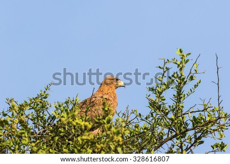 Bird of prey Tawny Eagle in a tree - stock photo