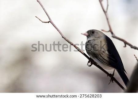 Bird on branch, dark-eyed junco,Junco hyemalis - stock photo
