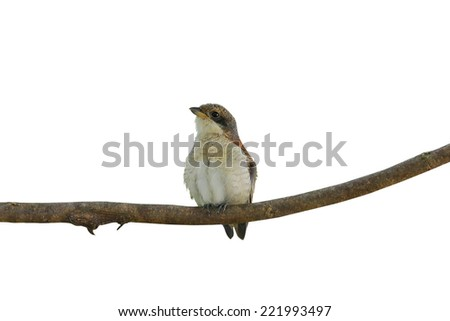Bird on the perch (Brown Shirke ,Juvenile) in White background - stock photo