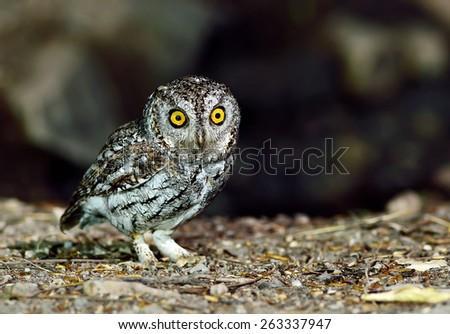 Bird (Oriental Scops Owl) , Thailand - stock photo