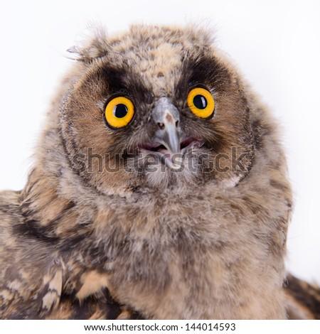 bird owl isolated on a white background - stock photo