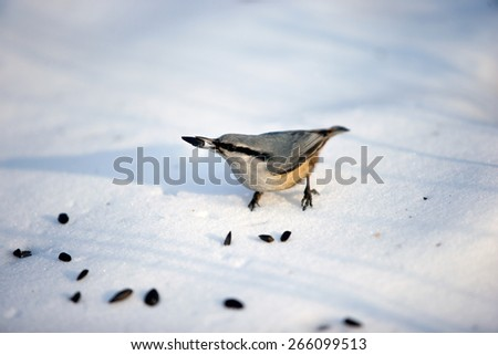Bird pecking at seeds on the snow - stock photo