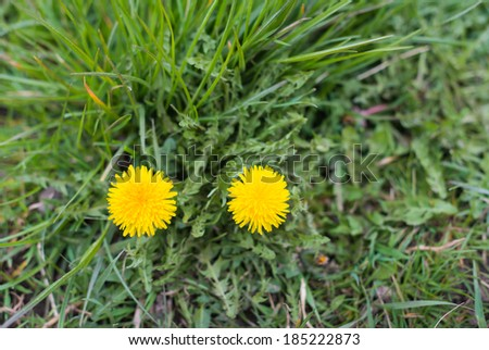 Bird's eye view of two yellow blooming Common Dandelions or Taraxacum officinale plants in their natural habitat. - stock photo