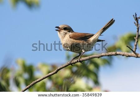 Bird (shrike) sitting on a branch - stock photo
