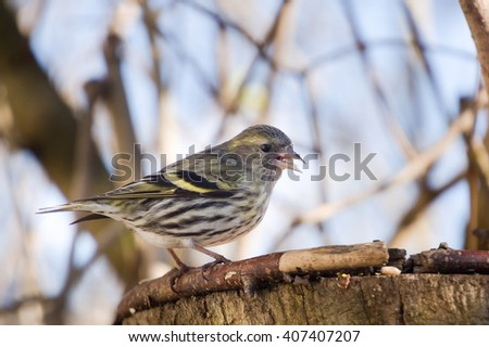 bird siskin  on forest background - stock photo