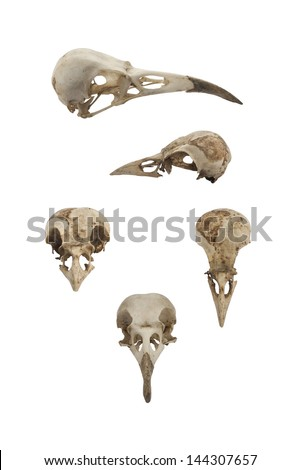 Bird skulls - stock photo