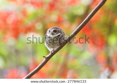 Bird,Spotted Owlet (Athene brama) - stock photo