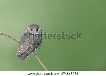 Bird (spotted owlet) perching on branch - stock photo