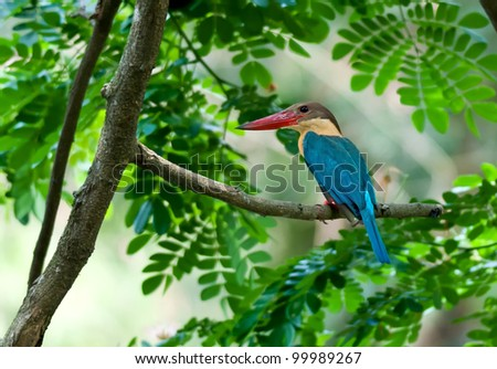 Bird, Stork-billed Kingfisher, Perched on Tree branch, green leaves, waiting patiently, copy space, out of focus background, - stock photo
