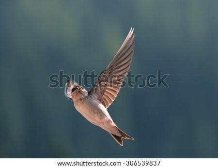 Bird, swallow on flying - stock photo