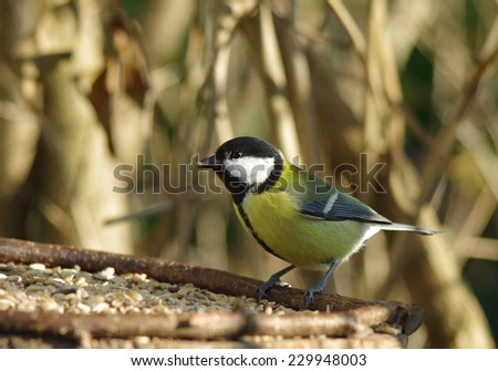 bird titmouse  on tree background - stock photo