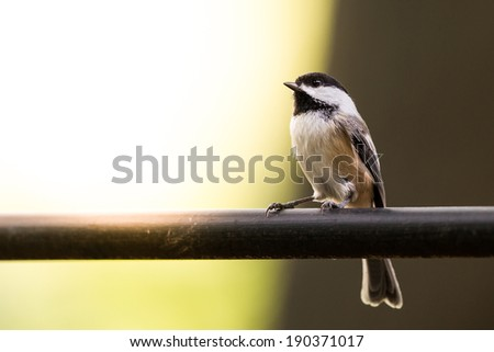 Bird with Copy Space - chickadee sitting on a bar looking at copy space.  Sun and sunlight in the background. - stock photo