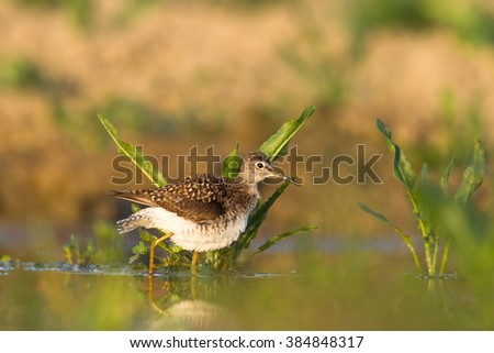 Bird - Wood Sandpiper (Tringa glareola) - stock photo
