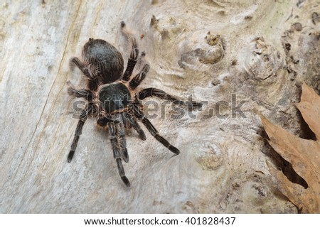 Birdeater curlyhair tarantula spider Brachypelma albopilosum in natural forest environment. Black hairy giant arachnid. - stock photo