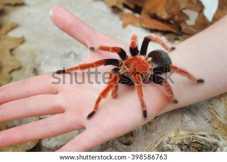 Birdeater tarantula spider Brachypelma boehmei held in hand in natural forest environment. Bright red colourful giant arachnid. - stock photo