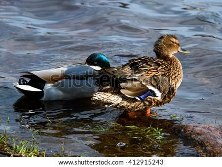 Birds. Amazing duck animal on stone under sunlight view. Animal landscape view. Brown duck bird in nature. Animal duck bird laughing. Duck bird animal in water. Awesome duck animal in wildlife Animal - stock photo