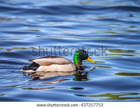 Birds and animals in wildlife. Amazing mallard ducks animal on water under sunlight view. - stock photo