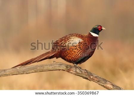 Birds - Common pheasant (Phasianus colchicus) - stock photo
