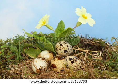 Birds eggs in a nest of straw and moss underneath a flowering primrose against a blue sky with hazy white cloud - stock photo