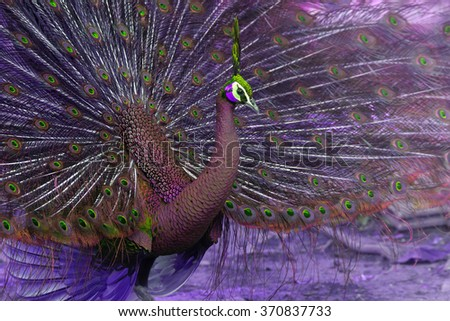 Birds,Multi colored peacock - stock photo