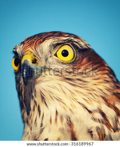 Birds of Europe - Sparrow-hawk (Accipiter nisus), retro style effect - stock photo