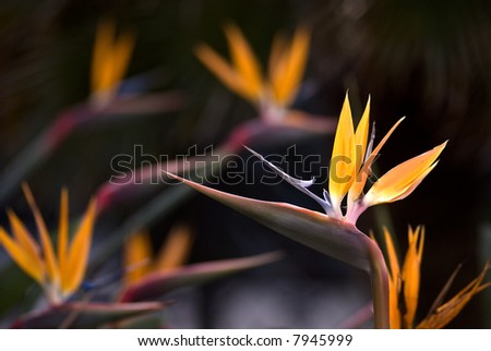 Birds of paradise - stock photo