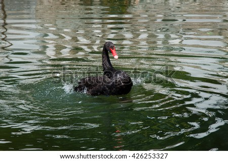 Birds of passage. Black swan with red beak swimming in the lake. - stock photo