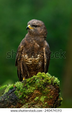 Birds of pray Common Buzzard (Buteo buteo) sitting on moss tree stump with blurred green forest in background  - stock photo