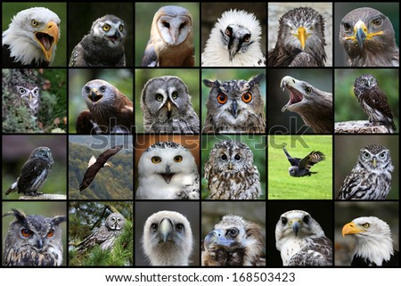 Birds of prey, Collage - stock photo